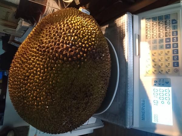 Es considerada la fruta más grande del mundo.... Y la tenemos como fruta exótica....